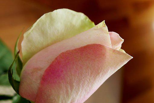 Rose, Flower, Blossom, Bloom, Flower Head, Hall, Thorns