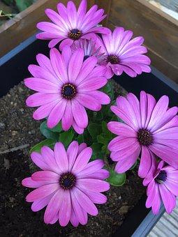 Osteospemum, Flowers, Plant, Flower, Plants, Nature