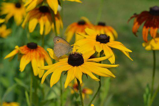 Butterfly, Rudbekia, Rudbekie, Flowers, Yellow, Insect