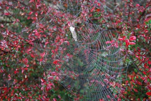 Spiderweb, Web, Frost, Australia, Red Berries, Spider
