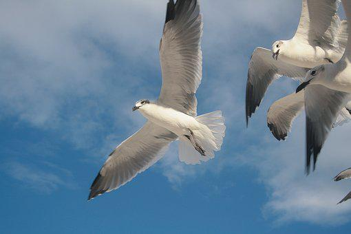 Bird, Dove, Gaviota, Nature, Wing, Feather, Peace, Fly
