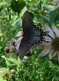 Hybrid Black Swallowtail Butterfly, Hybrid, Butterfly