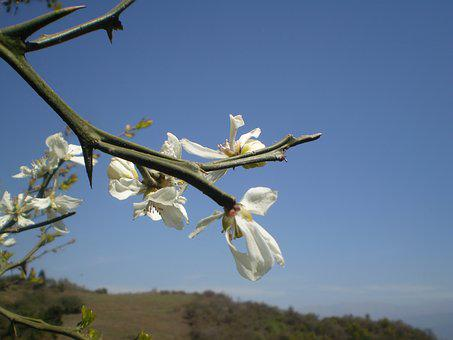Boutonnieres, Lemon Blossom, Lemon Tree Wild
