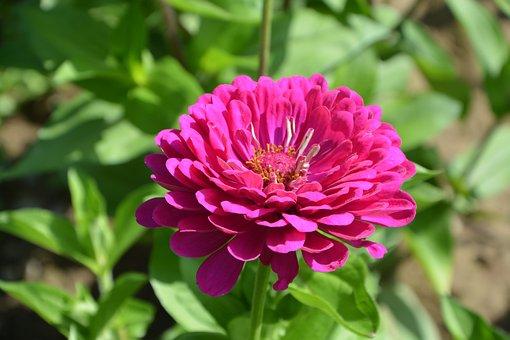 Pink Flower Fuchsia, Nature, Bouquet, Garden, Massif