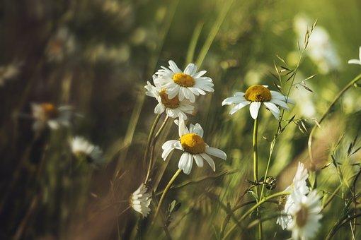 Summer, Camomile, Heat, Holidays, July, Meadow, Biel