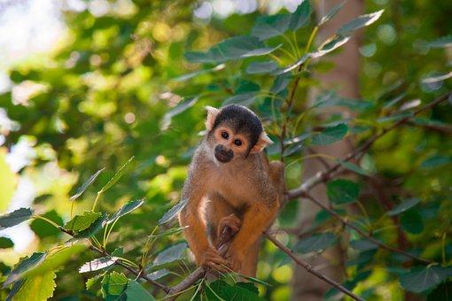 Monkey, Capuchin Monkey, Nature, Animal, Green
