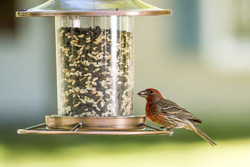 House Finch, Bird, Red, Finch, Wildlife, Nature, Avian