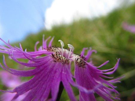 Flower, Slovenia Bar, Sticks, Dianthus, Summer, Nature