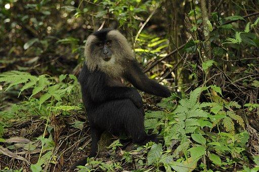 Nagaraja Papanna, Np Photography, Lion Tailed Macaque