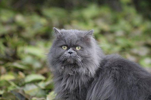 Kitten, Cat, Persian Kitten, Pets, Cat Eye, My Favorite