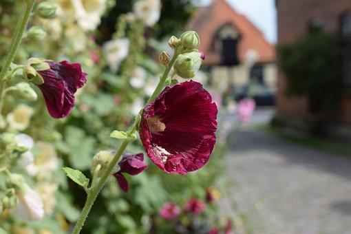 Hollyhock, Purple, Garden, Flower, Summer, Denmark