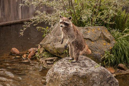 Raccoon, Animal, Water