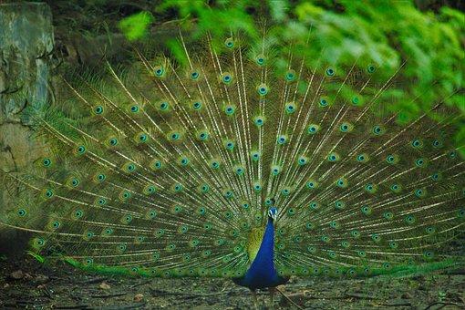 Peacock, Rain, Peacock Dancing, Green, Background