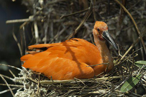 Scarlet Ibis, Bird, Ibis, Red, Animal, Wildlife, Beak