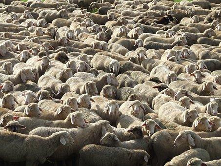 Flock Of Sheep, Schäfer, Schäfchen, Sheep's Wool