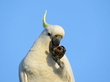 Sulphur-crested Cockatoos, Cacatua Galerita, Fauna