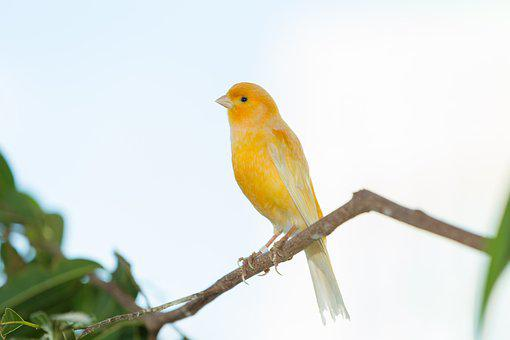 Yellow Finch, Finch Bird Yellow, Creature, Two, Golden