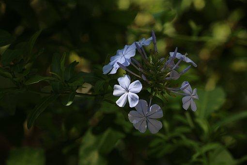 Plumbago, Flower, Blue Flower, Plumbago Auriculata