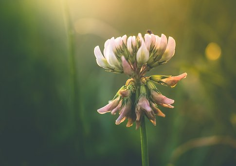Dutch, Clover, Seed, Bloom, Blowing, Bud, Nature, Plant