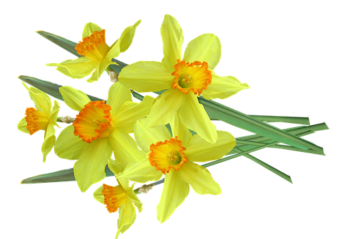 Daffodil, Spring, Flowers, Bulbs, Bunch, Cut, Out