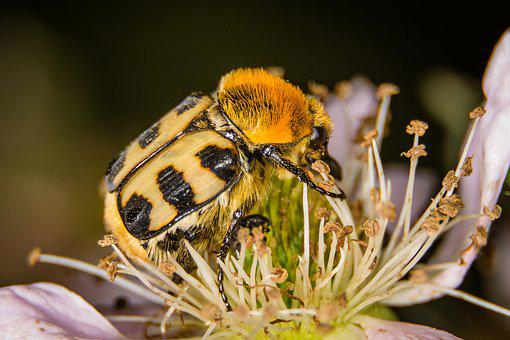 Beetle, Brush Beetle, Macro, Nature, Insect, Close Up