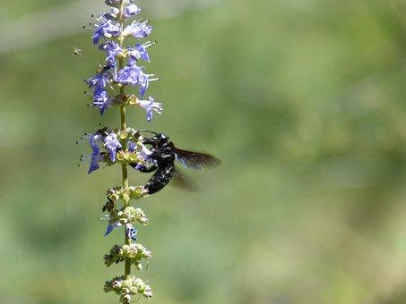 Drone, Drone Black, Xylocopa Violacea, Bumblebee, Libar