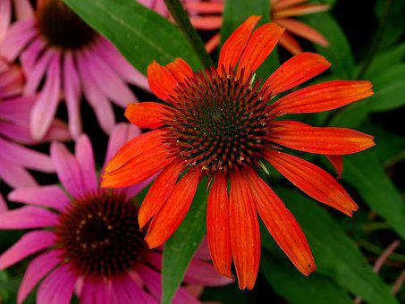 Coneflower, Translucent Sonnenhut, Echinacea Purpurea