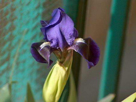 Iris, Plant, Nature, Waterlilies, Plants, Green, Flora