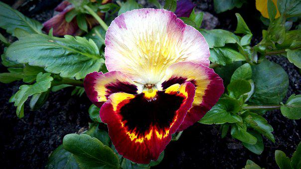 Pansy, Burgundy, Yellow, Flower, Red, Nature, Plant