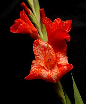 Flower, Red, Annealed, Gladiolus