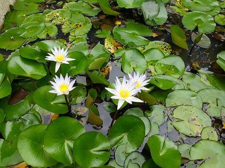 Flowers, Lotus Flowers, Looms, Hoa Sen