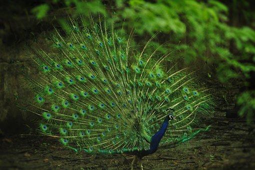 Indian Peafowl, Peacock, Pavo Cristatus, Green, Zoo
