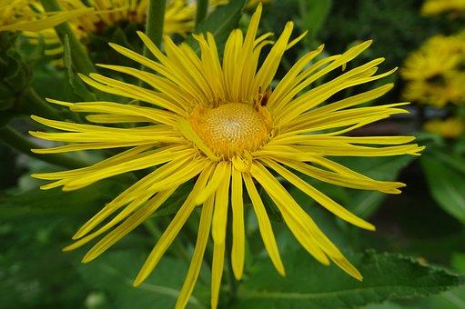 Inula, Real Alant, Iluna Helenium, Medicinal Plant