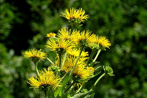 Real Alant, Inula, Medicinal Plant, Iluna Helenium
