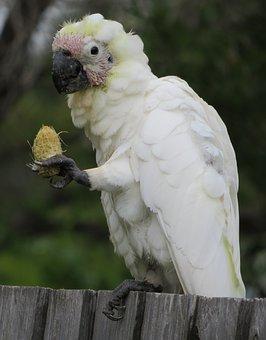 Juvenile Sulphur-crested Cockatoos, Cacatua Galerita