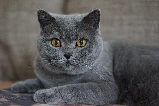 Grey, Domestic Cat, Mieze, Cat Face, Animal Portrait