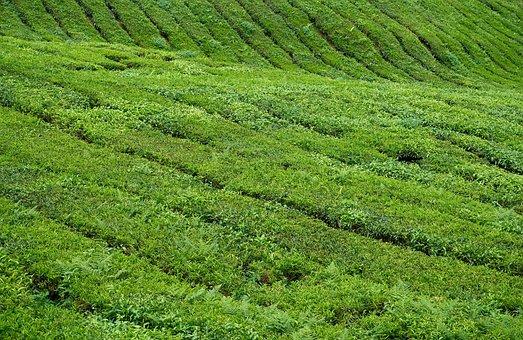 Tea, Field, Plant, Tiny Tree, Nature, Leaves, Landscape