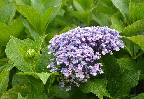 Hydrangea, Blue, Flower, Brittany, Petals, Flowering