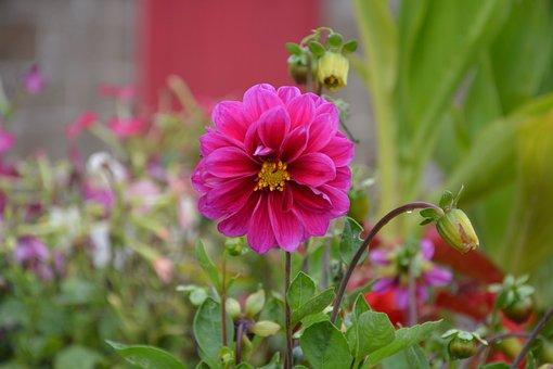 Flower Fuchsia Pink, Dahlia, Petals, Plant, Flower