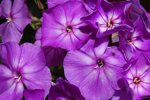 Phlox, Flame Flower, High Perennial Phlox