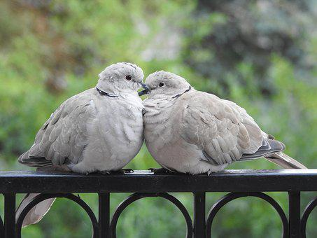 Pigeons, Para, Sweethearts, The Proximity Of The, Birds