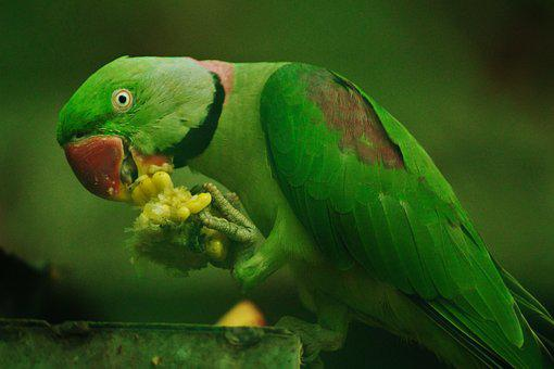 Rose-ringed Parrot, Psittacula Krameri, Corn, Eating