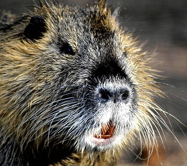 My Friend, Wild Nutria, Rat, Cute, Water Rat, Rodent