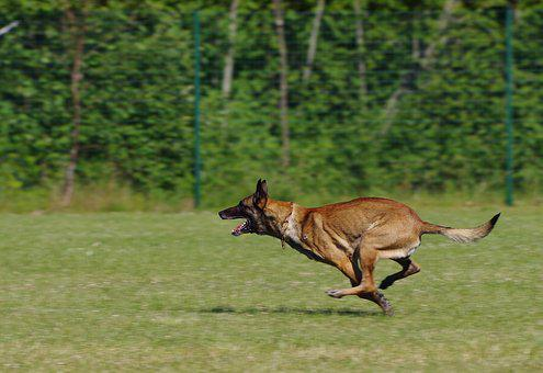 Belgian Shepherd Malinois, Dog, Running