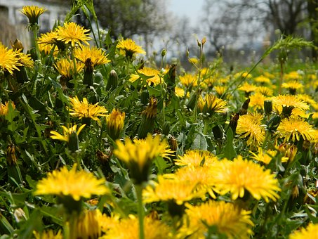 Dandelions, Spring, Flower, Nature, Greens, Summer