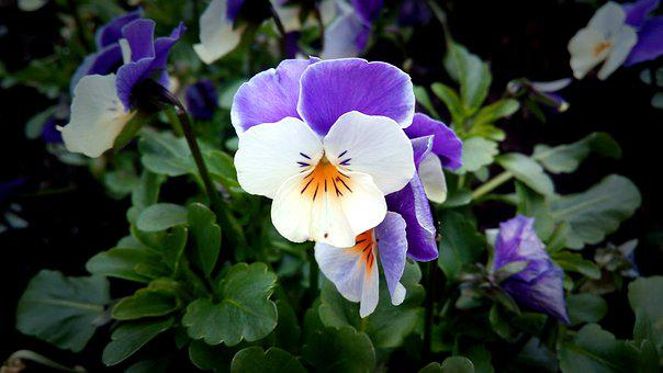 Pansy, Purple, Purple And White, Spring, Flower, Nature