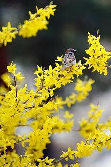 Forsythia, Sparrow, Birds, Spring, The City Of Fort