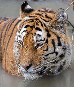 Tiger, Zoom, Gelsenkirchen Zoo
