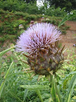 Thistle, Pointed Flower, Flower, Purple, Wild Plant