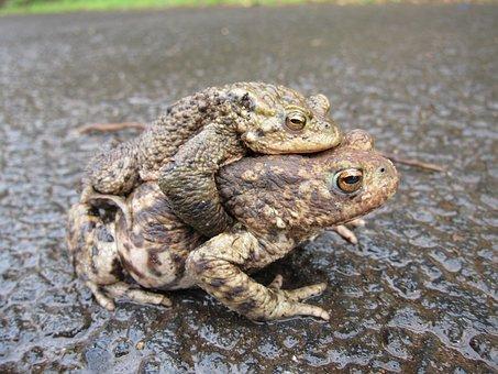 Toads, Common, Mating, Animal, Amphibian, Fauna